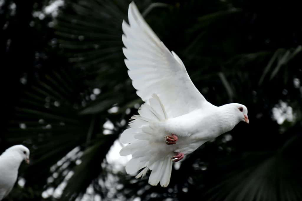 two white doves flying